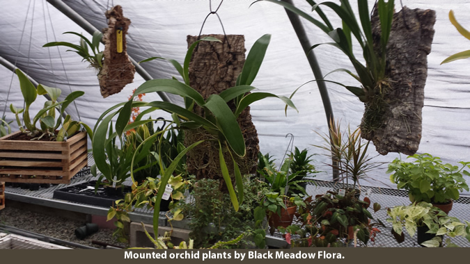 mounted orchid plants BMF-2