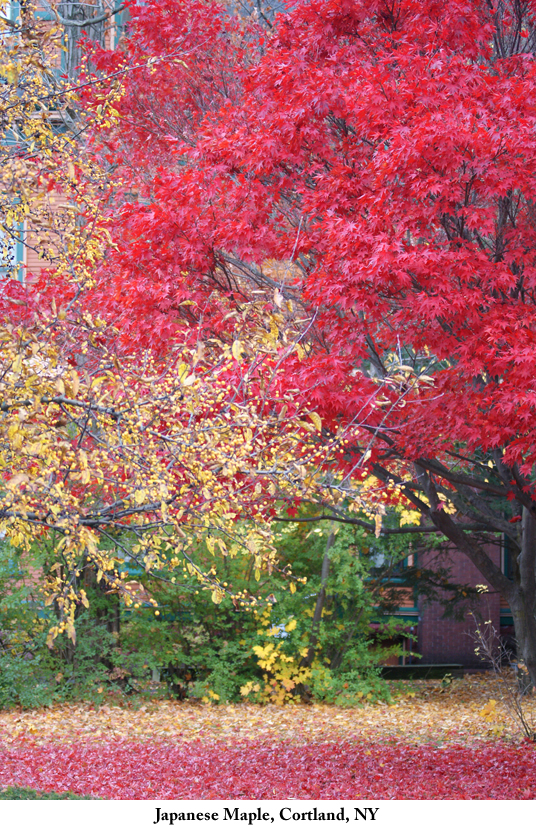 Japanese_maple_Cortland_NY